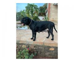 Cane corso pup available