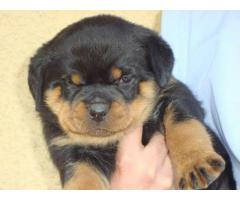 Heavy Quality Rottweiler For Available 8860346006