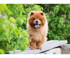 Chow Chow For Sale 9971331250