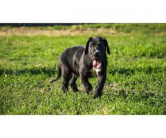 lineup Great Dane puppies for sale at Pets Farm  offers Best quality