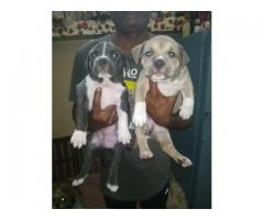 AMERICAN BULLDOG MALE AND FEMALE PUPPS ARE READY TO GO