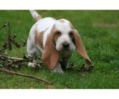 Basset Hound Pups Waiting For You Call On 9899803008,8810523600
