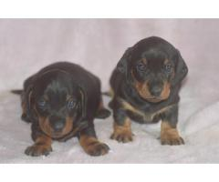 Dachshund Pups Waiting For You Call On 9899803008