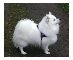 German Spitz Pups Waiting For You Call On 9899803008,8810523600