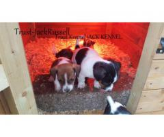 Show Quality Jack Russell Pups For Sale Trust kENNEL