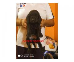 Mind-blowing Quality @ Cocker @ Breed Puppies With Document Available In New Delhi - 7065100447
