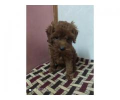 Show Quality Toy Poodle pup's available at Fancy Paws.