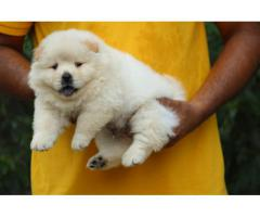 CHOW CHOW PUPPIES AVAILABLE IN DELHI NCR. VACCINATED AND DEWORMED. CONTACT 9555710955
