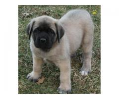 English mastiff male & female pups & dogs for new home..7300930479