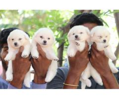 Pure breed indian spitz puppies avbl call 9171889848