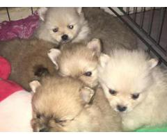Toy Pom Pups For Sale Trust Dog's Kennel