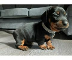 Dachshund Pups For sale Trust Dogs Kennel
