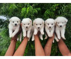 Pomeranian Spitz puppies available in Delhi NCR. Dewormed and Vaccinated. Contact 9555710955