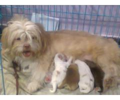 HAVANESE PUPPS AVAILABLE 9205546224