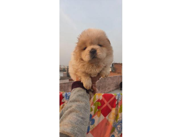 Certified Genuine Quality Chow Chow Puppies Available For Sale In New Delhi 9555944924