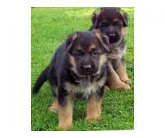 Dogs For Sale - Long Coat German Shepherd Puppies Available In Best Price - 7065100447