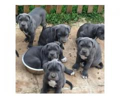 Show quality cane corso pups & dogs are available..7300930479