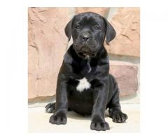Dogs For Sale - Black Cane Corso Pet Available In Best Price - 7065100447