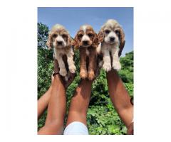 Cocker Spaniel puppies available in Delhi NCR. Dewormed and Vaccinated. Contact 8130629789