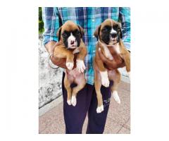 Boxer Puppies Available in Delhi NCR. Dewormed and Vaccinated. Contact 9555710955
