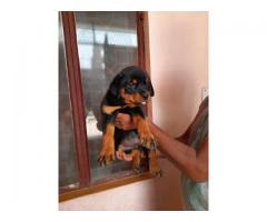TOP QUALITY ALL BREED PUPPIES AVAILABLE ROTTWEILER 9891116714