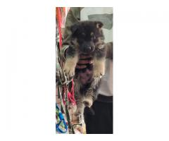 HUMPTY DUMPTY CHAMPION LINE GERMAN SHEPHERD PUPPS ARE SHOW TO NEW HOMES