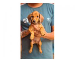 Dachshund Pup For Sale Liver Tan And Black And Tan both Available