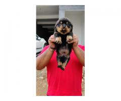 Hello Frends Good News Rottweiler Lover Champion Lines Pups For Sale Trustdogsales