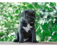 KCI Registered Cane Corso puppies for sale through all over India