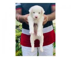 White Spitz Male Puppy Available - 7065100447