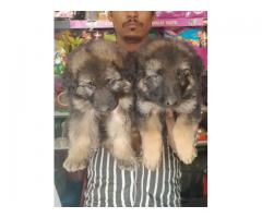 Superb Class Quality  Gsd Pups Ready For Sale Trustdogsales 9899803008