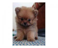Golden pom pups For sale Trust Dogs Kennel