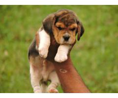 Beagle puppy available pet lovers contact me excellent quality pup.