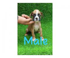Superb Class Quality  Boxer Pups Ready For Sale Trustdogsales 9899803008