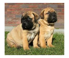 KCI Registered Bull Mastiff puppies for sale through all over India
