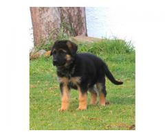 One Stop Pet Pure Puppies of German Shepherd Breed Top Quality Available in Delhi