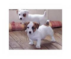 Best Offer Best Quality Pup Available In Best Price Jack Russell Male And Female