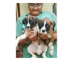 Boxer male puppies available
