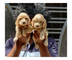 Good quality puppies available
