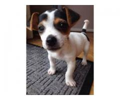 Breed Guaranteed ( Jack Russell Terrier ) Pup Available - 7065100447
