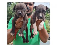 American Bully Puppy Sale Indore Dog kennel 9713637602