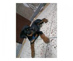 Rotwalier puppy Male 3 Month