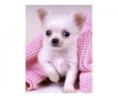THE QUALITY OF PUPPIES CHIHUAHUA AVAILABLE IN DELHI. DEWORMED AND VACCINATED. CONTACT 9911293906