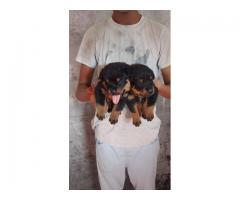 Top Quality all breed puppies available 9891116714 Rottweiler