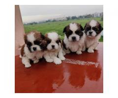 Excellent quality and marking Shih tzu puppies available