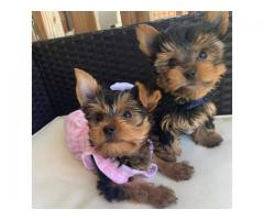 Tea Cup Size Yorkshire Terrier Pups available at Fancy Paws Pets
