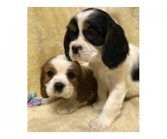 Cavalier King Charles Spaniel Puppies available at Fancy Paws. Contact 9555710955