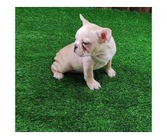 Healthy and show quality French Bulldog Pup available at Fancy Paws. Contact 9555710955