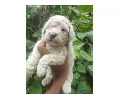 Extremely Quality  Poodle Pups For Sale Call Me.. Trustdogsales 9899803008.