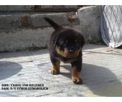 THE BEST BREED PUPPIES ROTTWEILER PUPPIES MALE AND FEMALE FOR SALES@ DELHI 9555944924